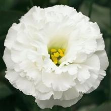 Эустома крупноцветковая Корелли II Вайт [1000 драже] - Семена Тут