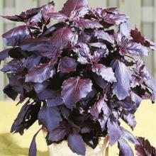 Актинидия коломикта Сентябрьская  (С2) (женский, декор листья, съед плоды в сент)