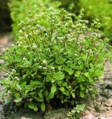 Майоран садовый Байкал - Семена Тут