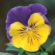 Виола крупноцветковая Матрикс Морфеус [50 шт] - Семена Тут