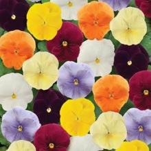 Виола крупноцветковая Динамит Клеа Микс [1000 шт] - Семена Тут