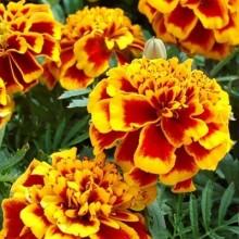 Бархатцы отклоненные махровые Двухцветный гигант - Семена Тут