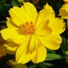 Космея Солнечная желтая - Семена Тут
