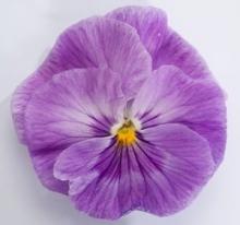 Виола крупноцветковая Динамит Лавендер [1000 шт] - Семена Тут