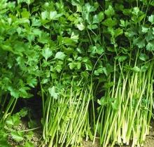 Сельдерей Афина листовой (50гр)