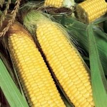 Кукуруза Трофи F1 сахарная - Семена Тут