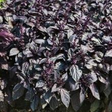 Базилик овощной Арарат - Семена Тут