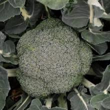 Ива швейцарская Гельветика (С2) (листья ворсистые, серебристые, рост медленный)