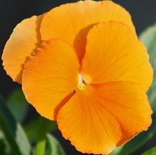 Анютины глазки Оранжевое солнышко - Семена Тут
