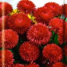 Маргаритка Красный шар - Семена Тут