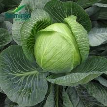Барбарис Тунберга Келлерис (С2) (лист зеленый с белыми пятнышками)