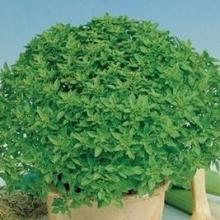 Базилик овощной Шалун - Семена Тут