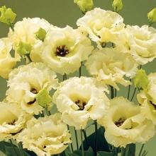 Эустома крупноцветковая Корелли III Еллоу  [100 драже] - Семена Тут