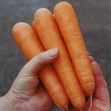Морковь Найджел F1 - Семена Тут