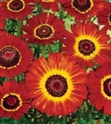 Хризантема килеватая Пламя - Семена Тут