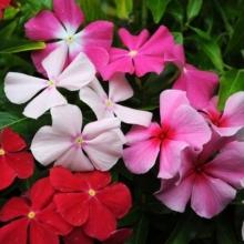 Катарантус розовый Смесь окрасок - Семена Тут