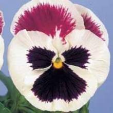 Виола крупноцветковая Динамит Парпл Роуз энд вайт  [100 шт] - Семена Тут