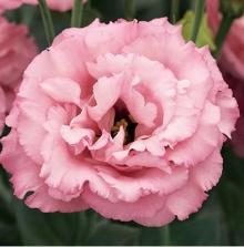 Эустома крупноцветковая Корелли III Роуз  [100 драже] - Семена Тут