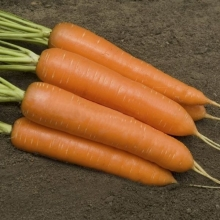 Морковь Монанта - Семена Тут