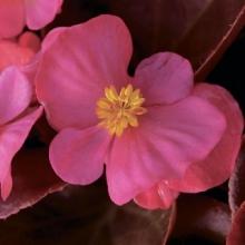 Бегония вечноцветущая бронзоволистная Бада Бум Пинк [1000 драже] - Семена Тут