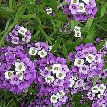 Алиссум Фиолетовая королева - Семена Тут