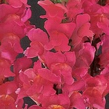 Львиный зев Монако (группа 2,3) Роуз [1000 шт] - Семена Тут