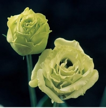Эустома крупноцветковая Крома I Грин [100 драже] - Семена Тут