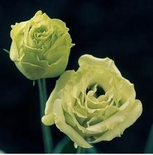 Эустома крупноцветковая Крома I Грин [1000 драже] - Семена Тут