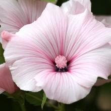 Лаватера Красотка розовая - Семена Тут