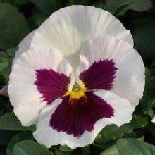 Виола крупноцветковая Матрикс Вайт Блотч [50 шт] - Семена Тут
