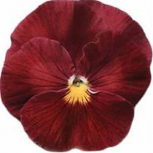 Виола крупноцветковая Динамит Роуз  [100 шт] - Семена Тут