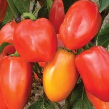 Перец сладкий Винни-Пух - Семена Тут