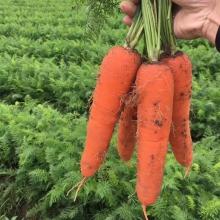 Морковь Аурантина F1 (ТСН 745)