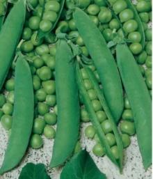 Горох овощной Фуга - Семена Тут