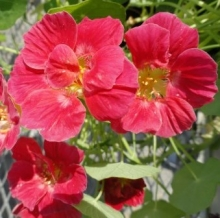 Настурция низкорослая Розовая вишня