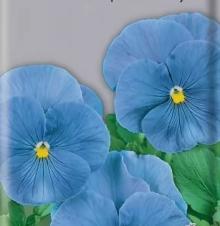 Анютины глазки Ясные кристаллы голубые - Семена Тут