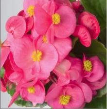 Бегония вечноцветущая зеленолистная Монза Роуз [1000 драже] - Семена Тут