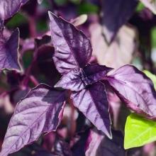 Базилик фиолетовый Пурпурные звезды - Семена Тут