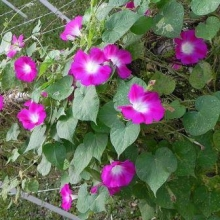 Фарбитис пурпурный Сплит - Семена Тут