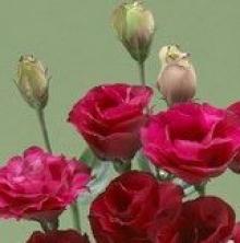 Эустома крупноцветковая Крома III Ред [100 драже] - Семена Тут