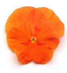Виола крупноцветковая Матрикс Оранж [50шт] - Семена Тут