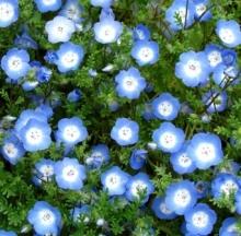 Немофила менциса Голубая - Семена Тут