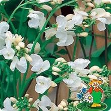 Фасоль вьющаяся Белая - Семена Тут