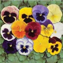 Виола крупноцветковая Матрикс Микс [250 шт] - Семена Тут