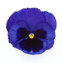 Виола крупноцветковая Инспайер Плюс Блю Блотч [1000 шт] - Семена Тут