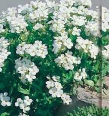Арабис альпийский Белый - Семена Тут