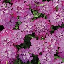 Иберис зонтичный Пурпурный бархат - Семена Тут