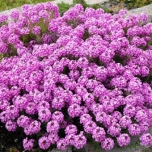 Иберис зонтичный Розовый - Семена Тут