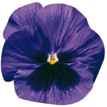 Виола крупноцветковая Дельта Блю виз Блотч [1000 шт] - Семена Тут