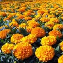Бархатцы прямостоячие низкорослые Золотисто-оранжевые - Семена Тут